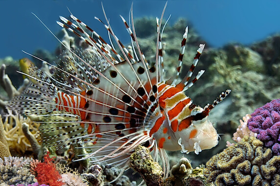 A spot-fin lionfish swimming in front of coral.