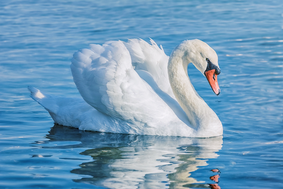 A mute swan on the water.