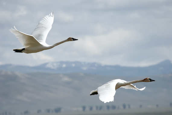Two trumpeter swans in flight with mountains in the background.