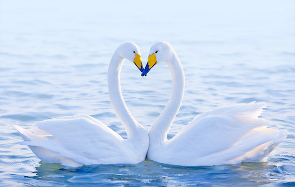 Two whooper swans performing a courtship ritual on the water.
