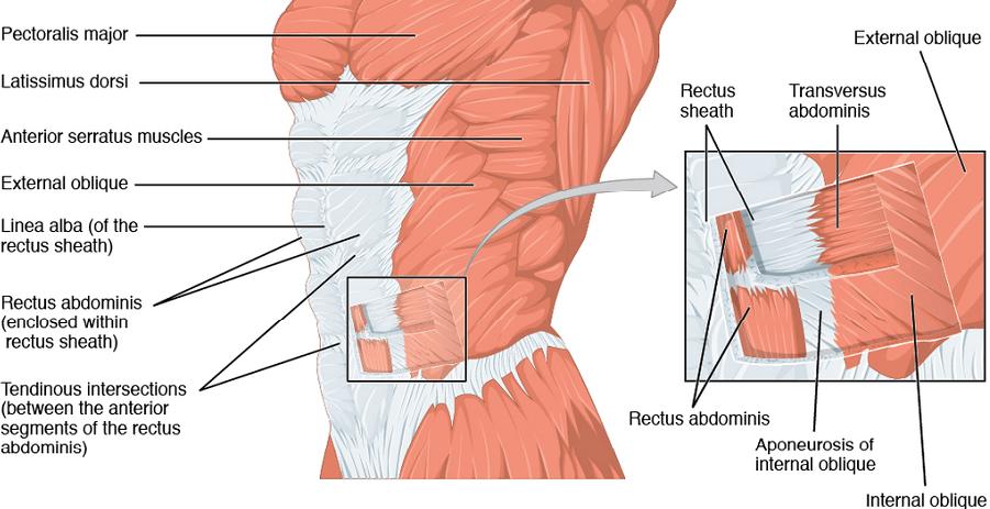 anterolateral abdominal muscle oblique external internal trnasversus abdominis anterior abdominal muscles rectus pyramidalis transversalis fascia peritoneum camper's scarpa's