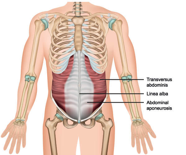 aponeurosis transversus abdominis oblique muscle muscles anterolateral abdominal wall