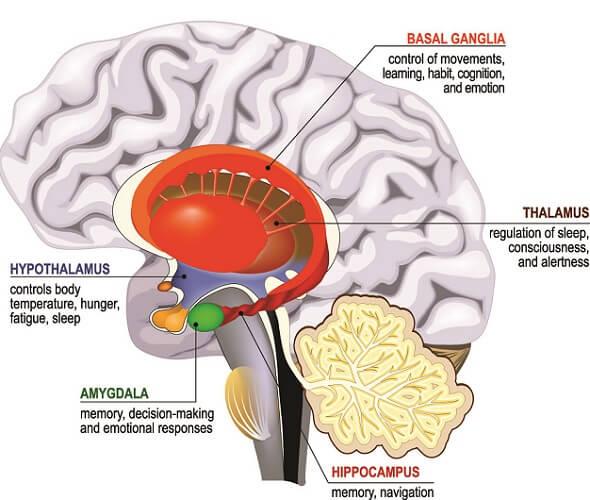 basal ganglia limbic system lobe hippocampus amygdala
