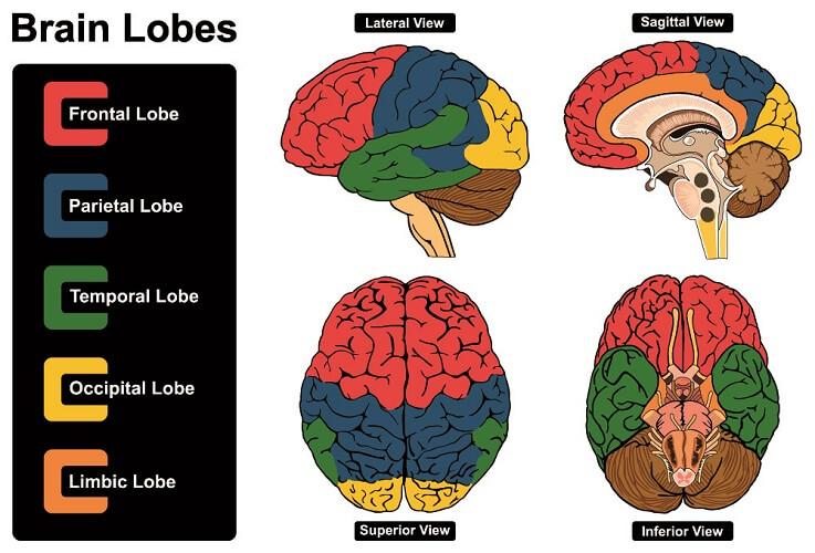 brain lobes cerebrum parietal lobe occipital limbic frontal temporal