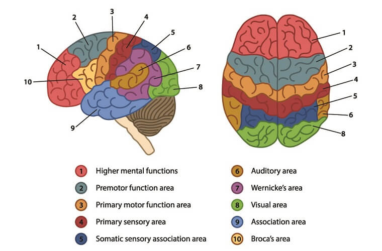 Cerebrum - The Definitive Guide | Biology Dictionary