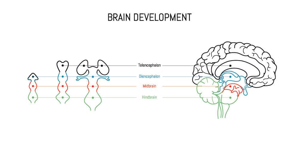 forebrain midbrain hindbrain neural tube brain development cerebrum cerebellum brainstem