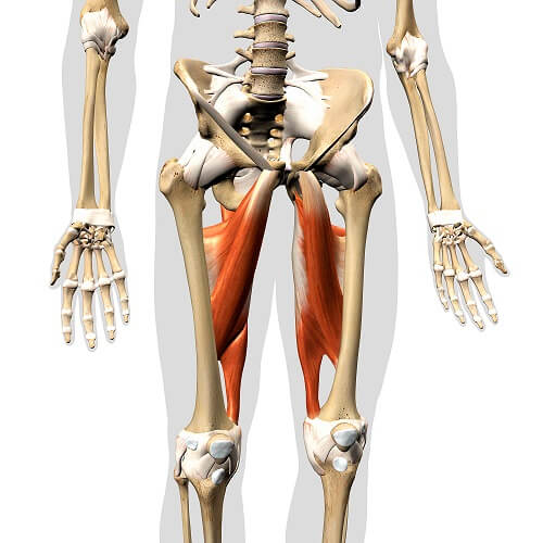 hip adductors adductor muscles