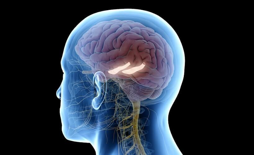 hippocampus limbic system cerebrum