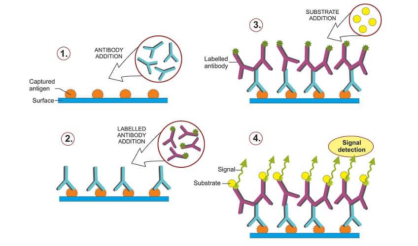 indirect western blot blotting immunoblotting