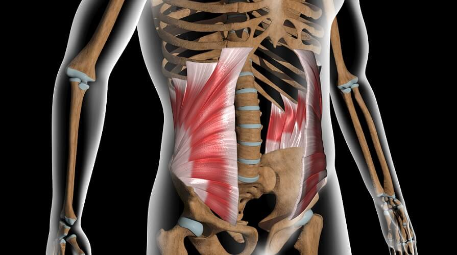 internal oblique muscle anterolateral abdominal wall