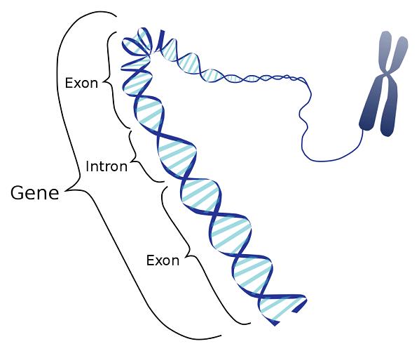 intron exon dna gene non-coding protein synthesis mRNa