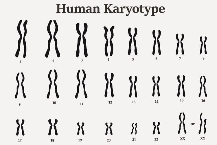 human karyotype chromosomes DNA