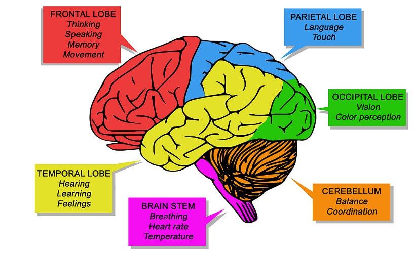 brain lobes frontal temporal occipital parietal