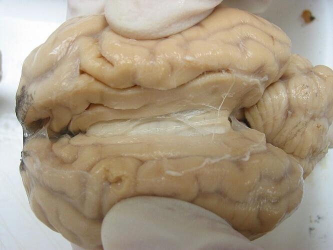 longitudinal fissure sheep brain