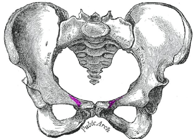 pectinial line pelvis pubic bone