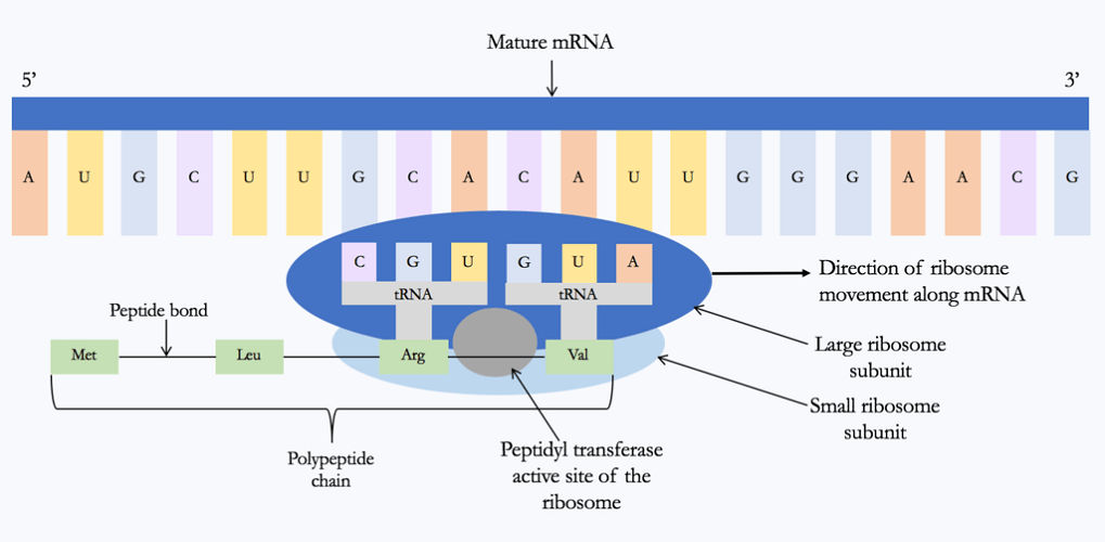 peptidyl transferase protein synthesis mRNA gene expression