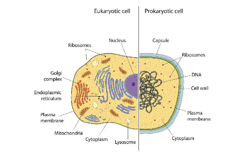 prokaryote eukaryote differences cell