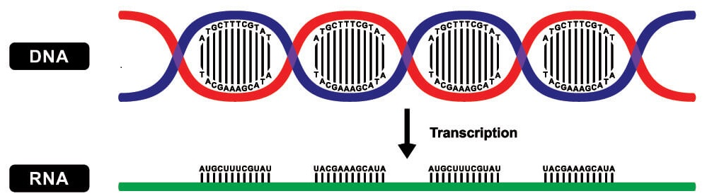transcription protein synthesis gene expression