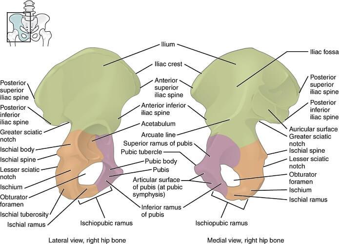 pubic bone labeled ischium ilium pelvis iliac crest acetabulum