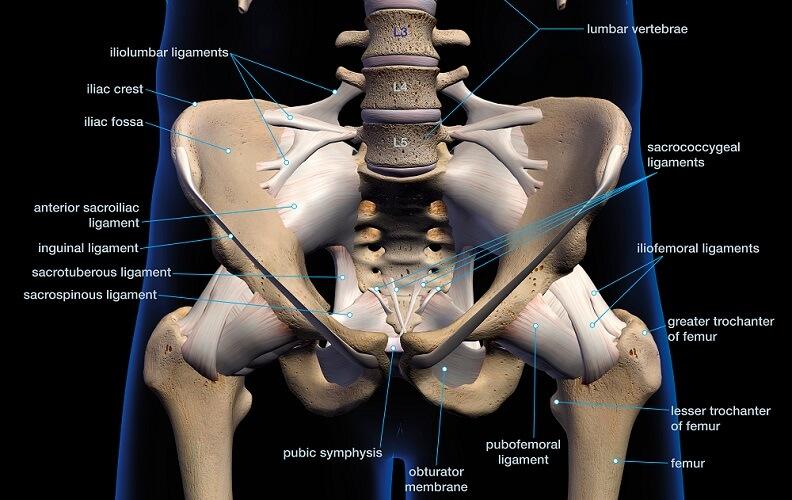 pubofemoral ligament pelvis hip joint