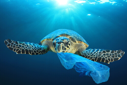 A green sea turtle chewing on a plastic bag while swimming