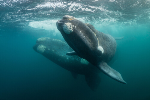 Two right whales swim side-by-side near the water's surface