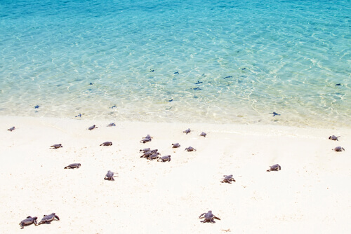 Green sea turtle hatchlings walking to the sea