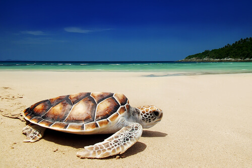 A green sea turtle on a sandy beach