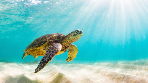A green sea turtle swimming near a sandy bottom