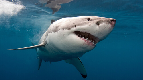 A great white shark swimming near the water's surface viewed from its ventral side