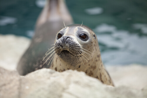 A young harbor seal looks attentively while resting on the shore