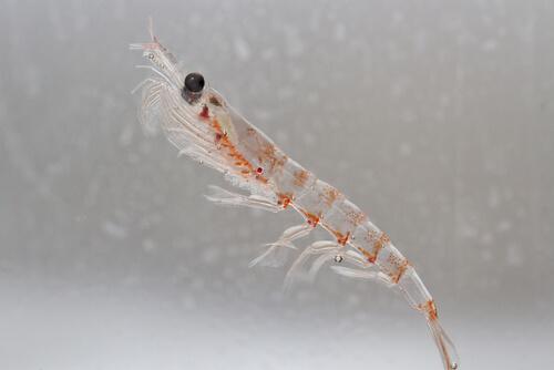 A singular translucent krill