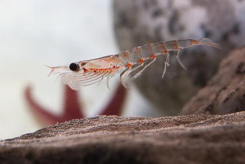A singular krill swims near the sandy bottom