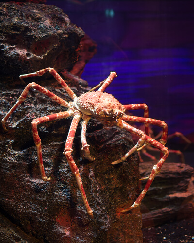 A red king crab walks along a rocky substrate