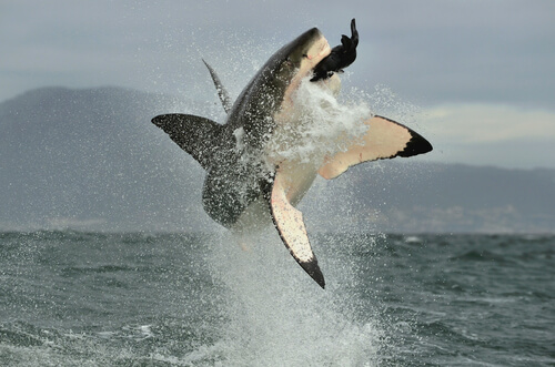 A great white shark hunting a seal as they breach the water's surface