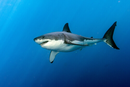 A great white shark swimming in the deep blue ocean