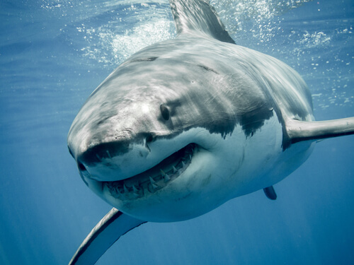 A great white shark swimming towards the viewer