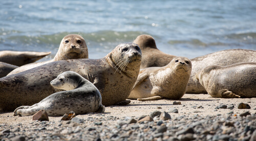 A group of harbor seals pulled out on a rocky beach near the shore
