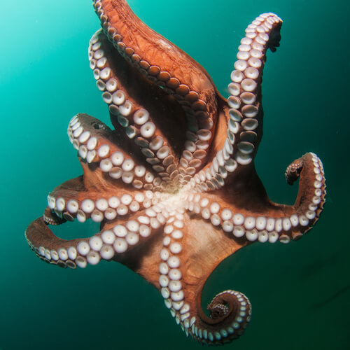 A giant Pacific octopus swimming away, viewed from below