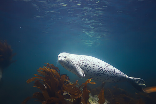 A harbor seal swimming underwater viewed in profile