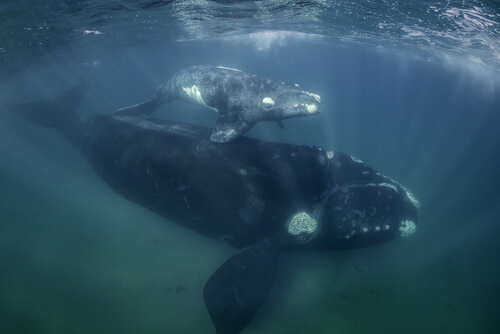 A female right whale and her calf swim near the water's surface