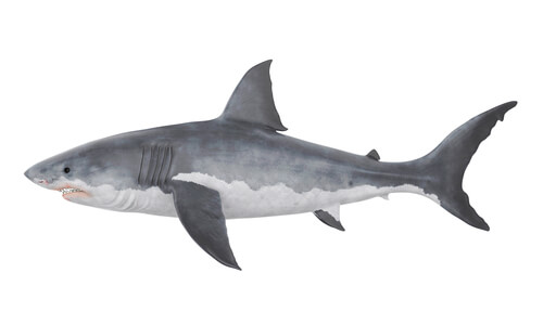 A great white shark isolated against a white background