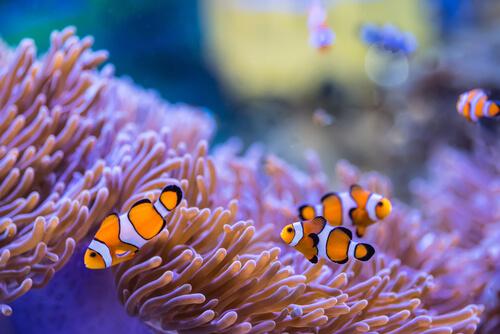 Three clownfish swim amongst the tentacles of a sea anemone