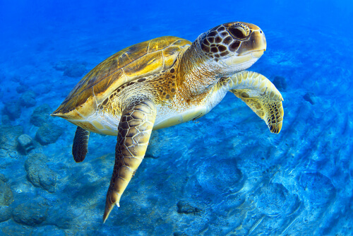 A green sea turtle swimming against a blue oceanic backdrop