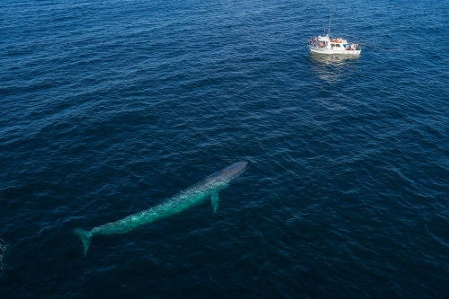 A blue whale approaches a boat, viewed from above