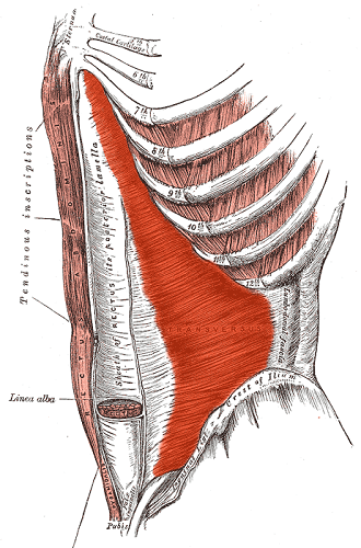 transversus abdominis internal oblique muscle external anterolateral abdominal wall