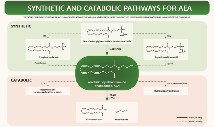 AEA endocannabinoid system cannabinoid pathway