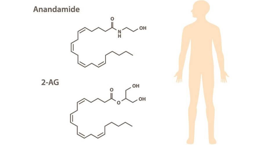 AEA 2AG cannabinoid receptors ECS endocannabinoid system molecules