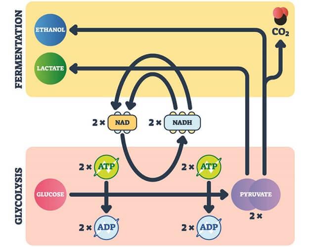 anaerobic respiration cellular ATP