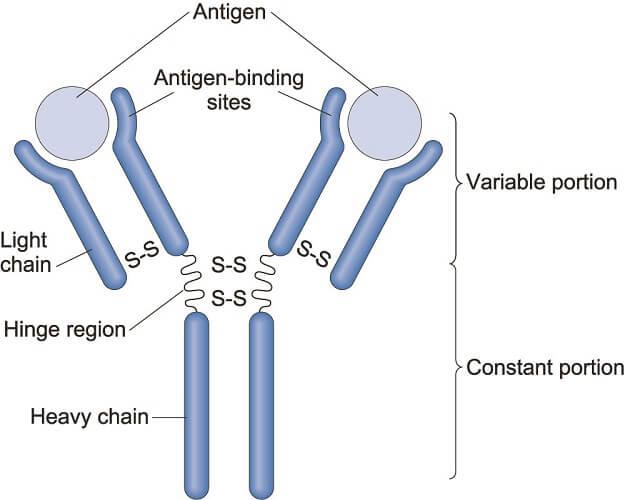 antibody structure heavy chain regions epitope antigen binding humoral immunity immune response